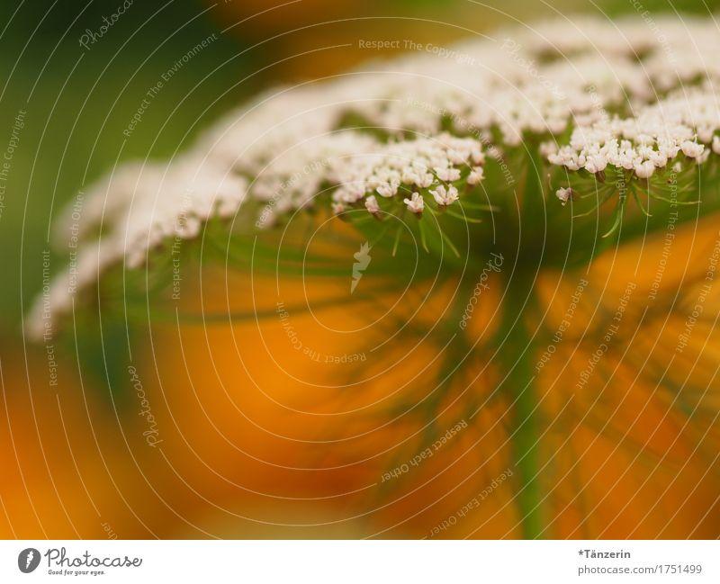 sommerblume Natur Pflanze Sommer Schönes Wetter Blüte ästhetisch natürlich positiv schön grün orange weiß Farbfoto mehrfarbig Außenaufnahme Detailaufnahme