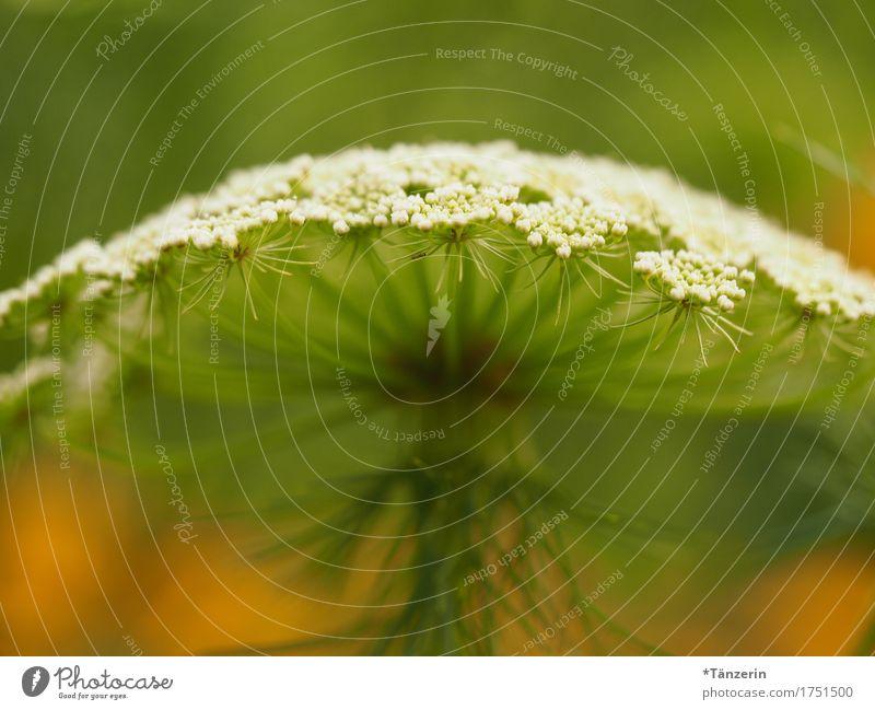 sommerblume Natur Pflanze Sommer Schönes Wetter Blüte Grünpflanze ästhetisch natürlich schön grün orange weiß Fröhlichkeit Farbfoto mehrfarbig Außenaufnahme