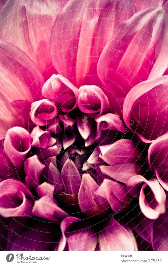 rosa Farbfoto Außenaufnahme Makroaufnahme Menschenleer Tag Umwelt Pflanze Frühling Sommer Blume Blüte Park ästhetisch authentisch Duft elegant schön rot