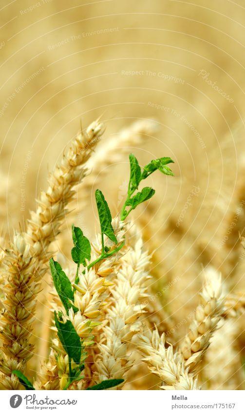 Revolution Natur grün Pflanze Sommer gelb Stimmung Feld Umwelt gold Wachstum natürlich Getreide Mut Kornfeld Sympathie Ranke