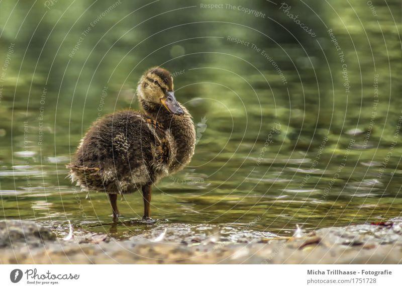 Entenküken am See Sonne Natur Tier Wasser Sonnenlicht Schönes Wetter Seeufer Teich Wildtier Vogel Tiergesicht Flügel Küken 1 Schwimmen & Baden Blick nah nass