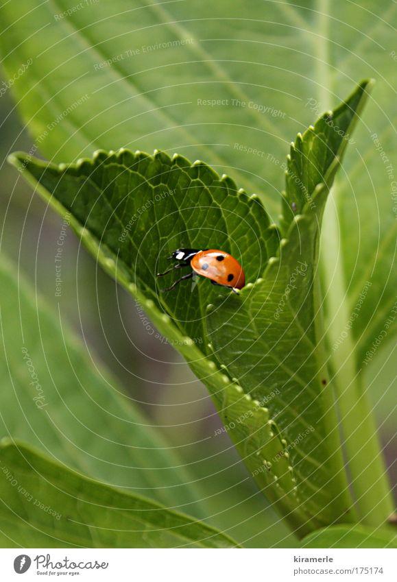 Ein kleiner Schritt nach vorn Natur grün rot schwarz Tier klein natürlich Marienkäfer krabbeln schreiten Grünpflanze