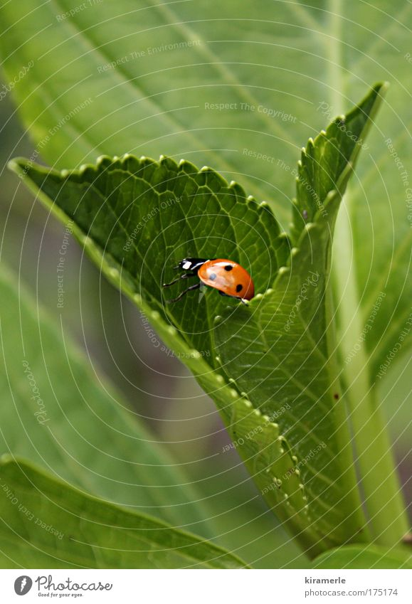Ein kleiner Schritt nach vorn Natur grün rot schwarz Tier natürlich Marienkäfer krabbeln schreiten Grünpflanze
