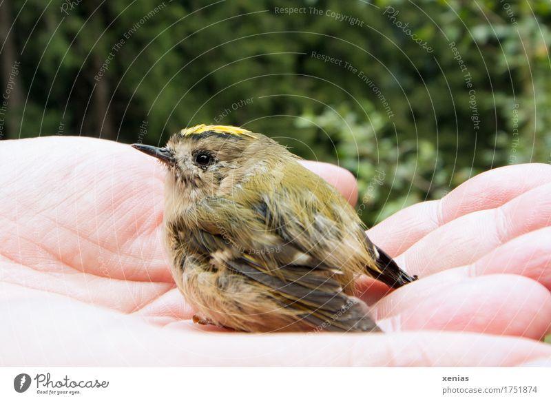 Wintergoldhähnchen in einer Hand Vogel Finger Wald Flügel Regulus regulus 1 Tier klein gelb grün schwarz Vertrauen Scheitelsteif Goldhähnchen Knopfauge