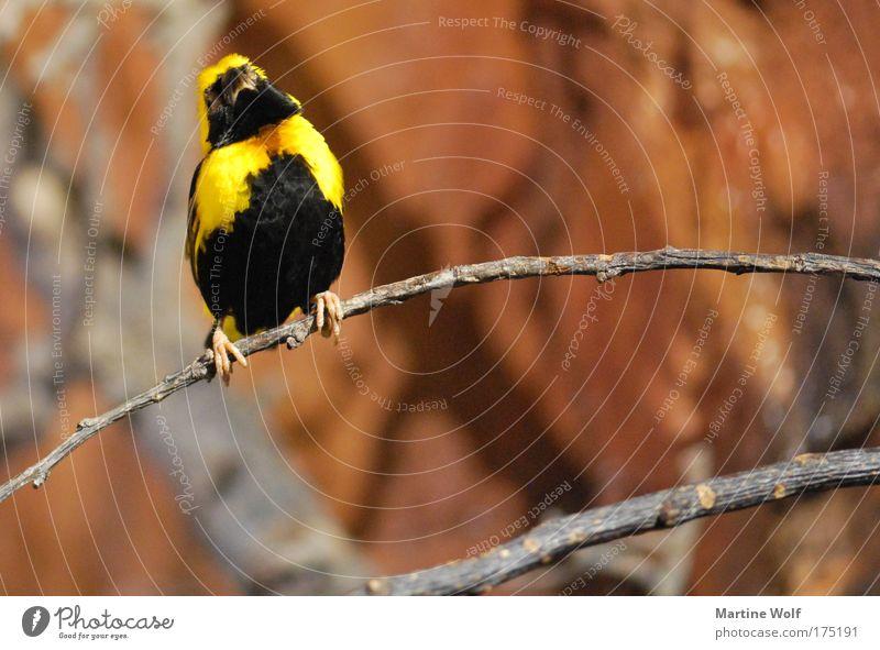 Songkontest Natur Tier schwarz gelb braun Vogel Ast Leidenschaft Stolz singen
