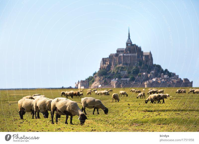 Mont-Saint-Michel und die Schafe Ferien & Urlaub & Reisen Tourismus Sommerurlaub Landschaft Wolkenloser Himmel Schönes Wetter Wiese Berge u. Gebirge Insel