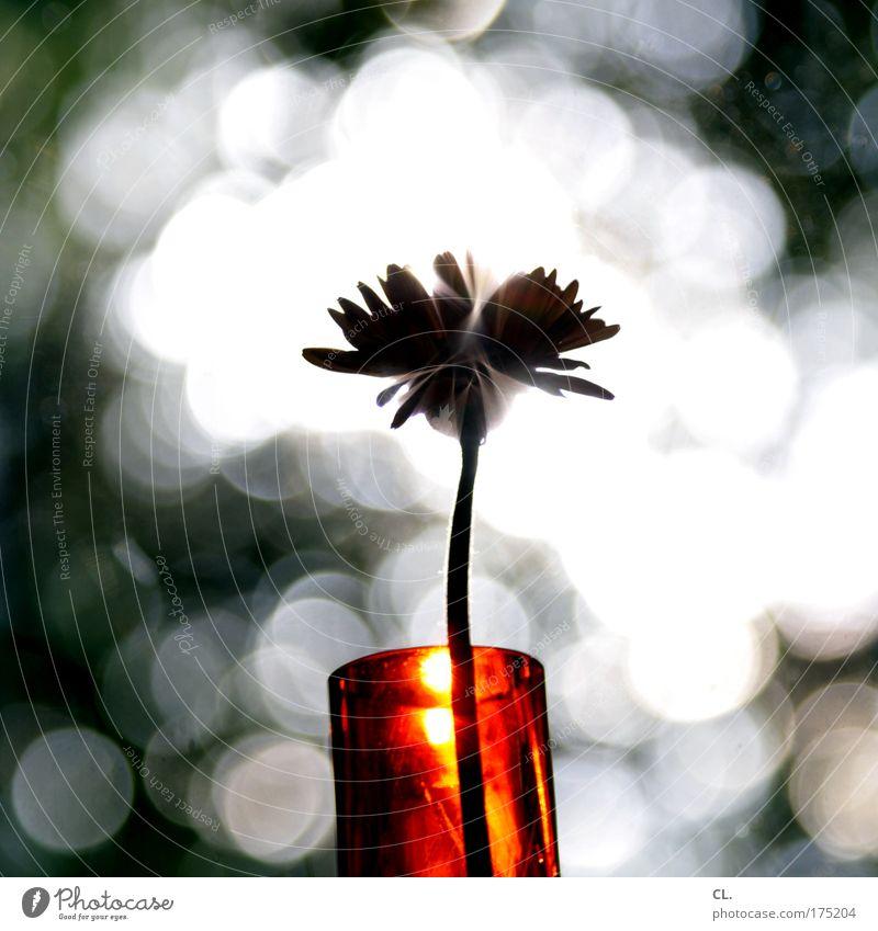 lichtblume Natur schön Sonne Blume Pflanze Sommer Freude Blüte Frühling Wohnung elegant ästhetisch Dekoration & Verzierung Häusliches Leben einzigartig