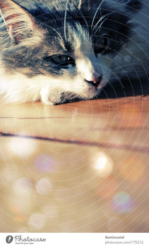 Sommer Royal schön ruhig Auge Tier gelb Erholung Gefühle Katze Wärme braun gold retro Ohr Tiergesicht beobachten geheimnisvoll