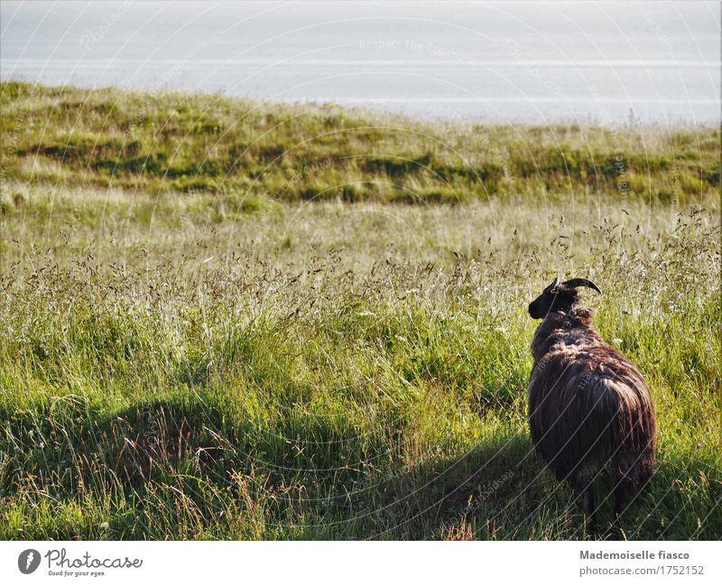Schaf auf Weide in die Ferne blickend Natur Landschaft Tier Gras Wiese 1 Blick stehen frei Unendlichkeit natürlich Neugier Zufriedenheit ruhig Einsamkeit