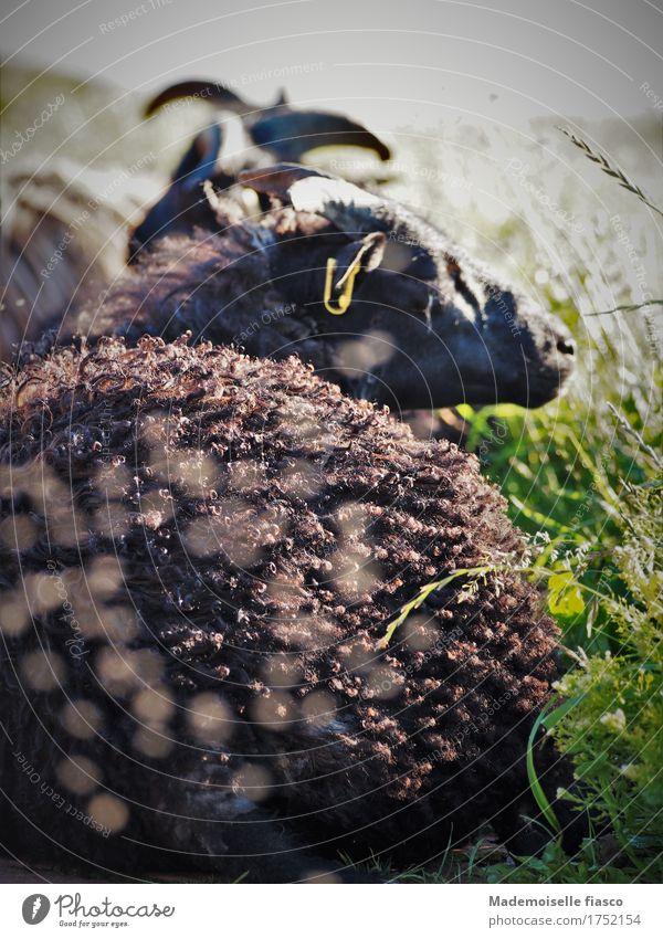 Schaf döst in der Sonne Tier Wiese 1 genießen liegen schlafen natürlich niedlich Zufriedenheit Erholung Gesundheit Idylle Natur ruhig Umwelt Farbfoto