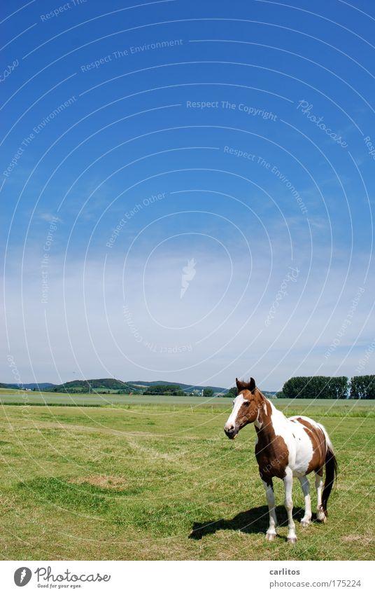 Lucky Luke ist grad' für kleine Cowboys Weitwinkel Tierporträt Freizeit & Hobby Reiten Ausflug Wolkenloser Himmel Sommer Wiese Nutztier Pferd beobachten