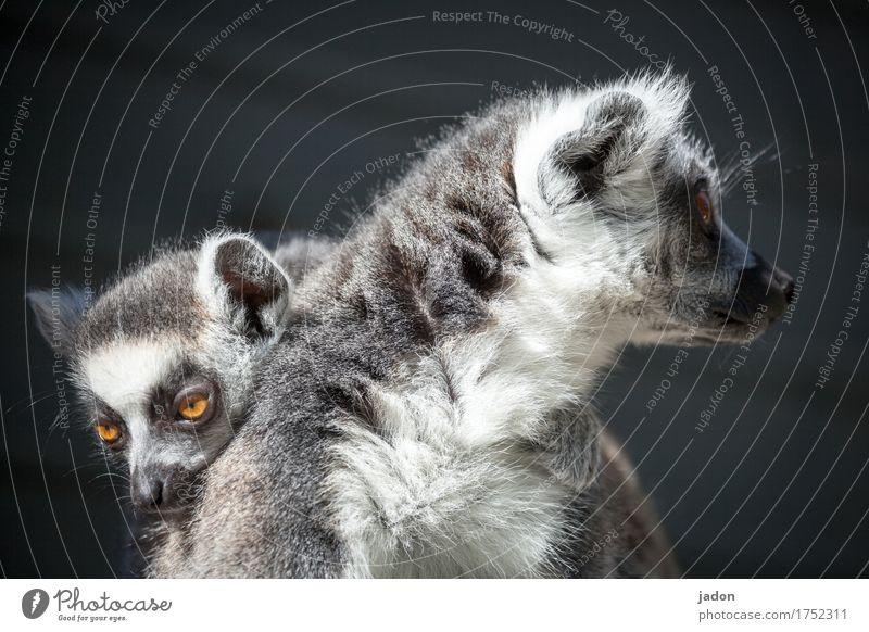 wir gehören zusammen. Natur Tier Tiergesicht Fell Katta Halbaffen 2 Tierpaar Tierjunges träumen berühren Erholung Liebe Blick Umarmen Zusammensein Glück