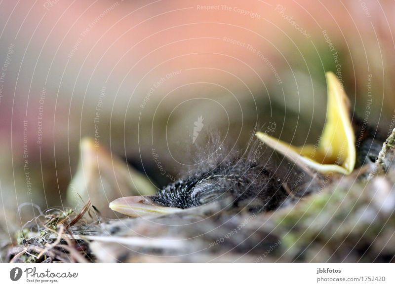 der SCHREI Lebensmittel Ernährung Freude Freizeit & Hobby Häusliches Leben Umwelt Natur Tier Wildtier Vogel Küken 3 Tierjunges Glück Fröhlichkeit Zufriedenheit
