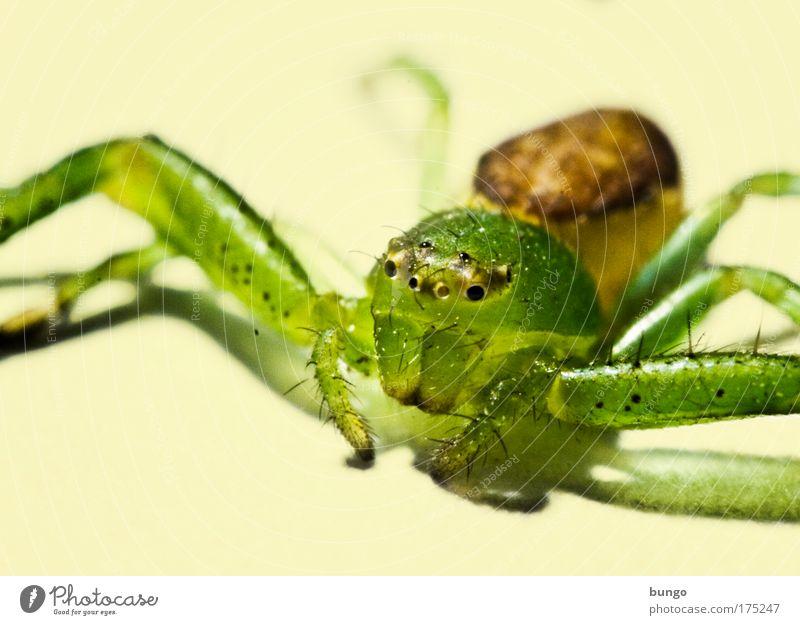 diaea dorsata schön Auge Tier Leben Kopf Beine Angst sitzen gruselig Wildtier Ekel Fressen Spinne beißen krabbeln