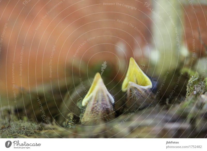 !HUNGER! Lebensmittel Ernährung Umwelt Natur Tier Wildtier Vogel Tiergesicht Küken Baby Tierjunges 2 schön einzigartig Appetit & Hunger Schnabel aufreißen