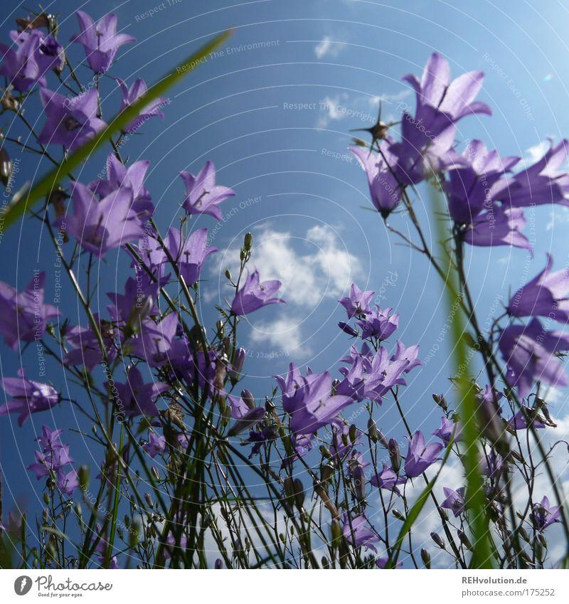 So, sie waren also ein Blumenkind? Farbfoto Außenaufnahme Menschenleer Sonnenlicht Umwelt Natur Pflanze Blüte Glockenblume Blühend stehen Wachstum ästhetisch