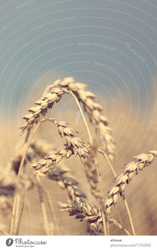Reifezeit (1) Natur Sommer Umwelt gelb natürlich Ernährung gold Energie Warmherzigkeit Romantik Landwirtschaft Netzwerk trocken Getreide Ernte Appetit & Hunger