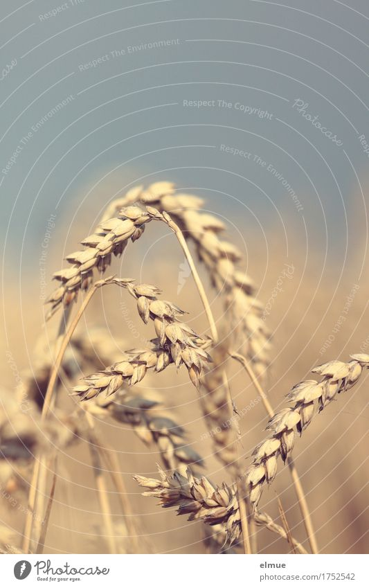 Reifezeit (1) Sommer Weizen Weizenfeld Weizenähre Ähren Getreide Netzwerk reif hängen natürlich gelb gold Warmherzigkeit Romantik Energie Natur Überleben Umwelt