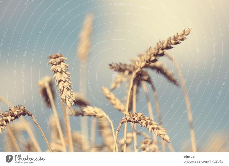 Reifezeit (2) Sommer Schönes Wetter Weizen Weizenfeld Getreide Getreidefeld Kornfeld Ähren Halm Strichhaar Bett reif hell trocken gelb gold Romantik anstrengen