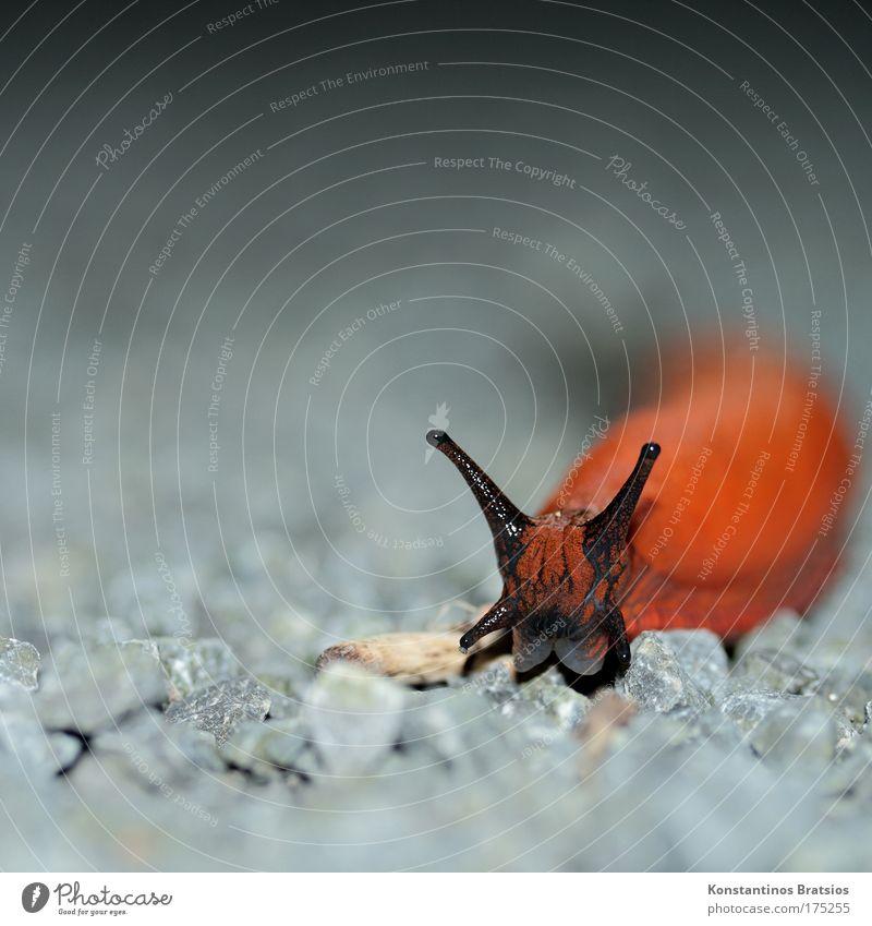 scharfe Schneck Natur schwarz Tier Auge grau Kopf Wege & Pfade Stein orange glänzend Geschwindigkeit außergewöhnlich Ekel Schnecke krabbeln Schwäche