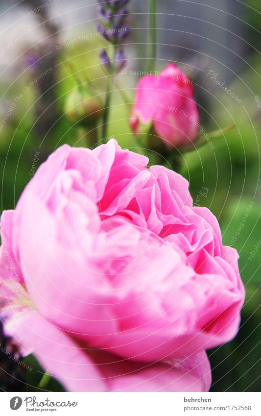 meister meister... Natur Pflanze Sommer schön Blatt Blüte Wiese Garten rosa Park Blühend Schönes Wetter Rose Duft Blütenknospen Blütenblatt