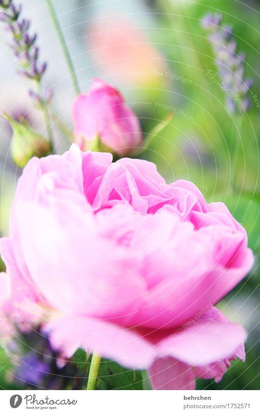 dufte Natur Pflanze Sommer Schönes Wetter Blume Rose Blatt Blüte Lavendel Garten Park Wiese Blühend Duft verblüht Wachstum schön rosa Blütenblatt Liebe Farbfoto