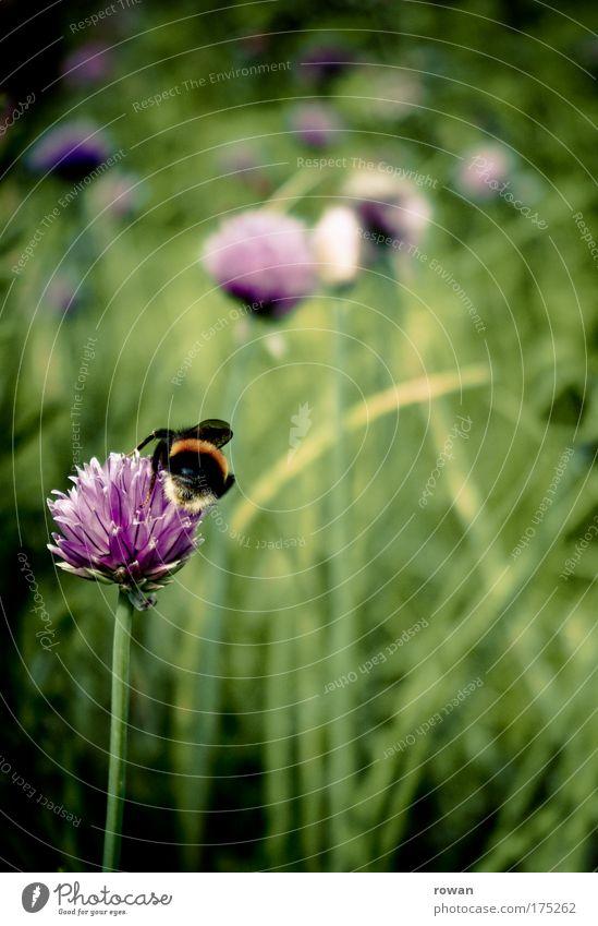 arbeitsam Natur Pflanze Sommer Tier Arbeit & Erwerbstätigkeit Wiese Blüte Park Landschaft Umwelt Wachstum Sträucher Kräuter & Gewürze Blühend Biene anstrengen
