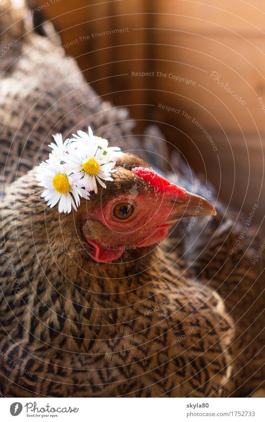 Ausgehfertig Huhn Henne Vogel Schnabel Schmuck Haarschmuck Kranz Blumenkranz Tierliebe Gänseblümchen Blick in die Kamera Haustier festlich lustig geschmückt