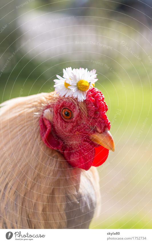 Paradiesvogel Hahn Vogel Hahnenkamm Schnabel Schmuck Haarschmuck Kranz Blumenkranz Gänseblümchen Tierliebe lustig Blick in die Kamera Haustier festlich