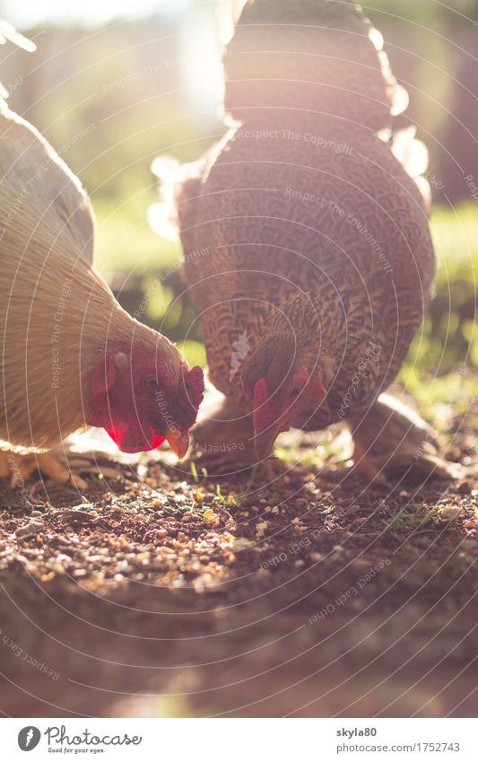 Zusammensein Gockel Haushuhn Hahn Sonne Stimmung Gegenlicht Sonnenlicht Vogel Tierliebe Haustier Futter Fressen Bauernhof Selbstversorger leuchten Kamm Nutztier