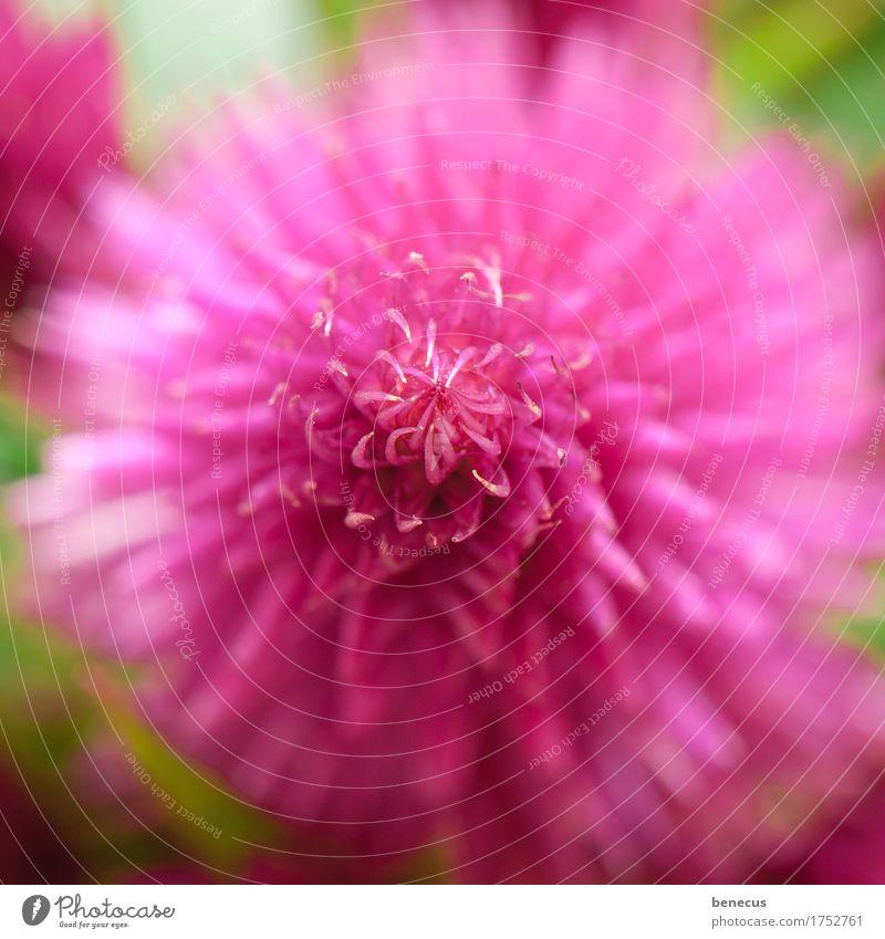 im Zenit Natur Pflanze Blume Blüte Federbusch rund schön rosa Ordnung Mitte Brennpunkt Spitze Blütenblatt zentral strahlenförmig Fuchsschwanzgewächs Stachel