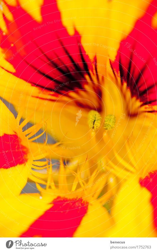 on fire Natur Pflanze Sommer Blume Blüte Kapuzinerkresse Blühend Aggression gelb rot schön prächtig intensiv Zacken Spitze filigran Blütenstempel fokussieren