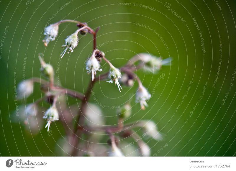 Vorfreude Pflanze Frühling Blume Blüte hängen grün weiß Blütenknospen Blühend sprießen verborgen neu Beginn Blick Vignettierung zart fokussieren schön natürlich