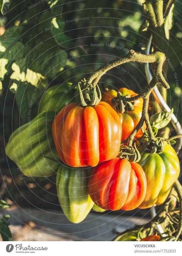 Fleischtomaten im Garten Natur Pflanze Sommer Gesunde Ernährung Leben Garten Design Freizeit & Hobby Schönes Wetter Gemüse Bioprodukte Ernte Beet Tomate Tomatenplantage