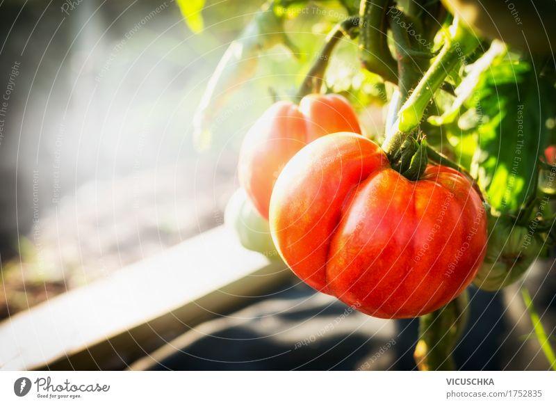 Reife Tomaten Pflanze im Garten Natur Sommer Gesunde Ernährung Leben Lifestyle Design Schönes Wetter Bioprodukte Vitamin Beet