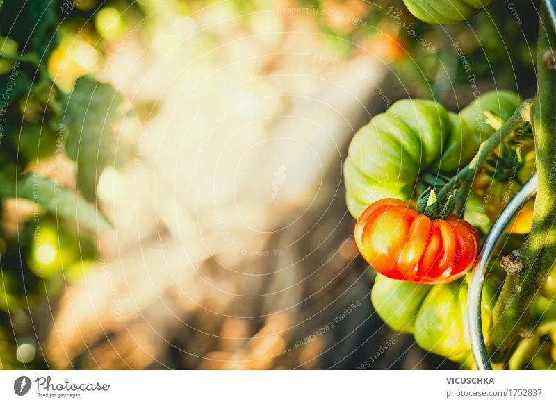 tomaten Gewächse in Garten Natur Pflanze Sommer Gesunde Ernährung Leben Lifestyle Lebensmittel Design Schönes Wetter Gemüse Bioprodukte Vitamin Tomate