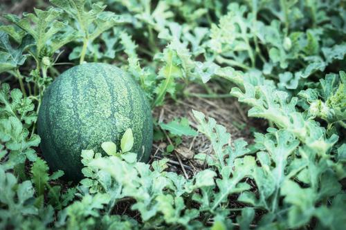 Wassermelone Pflanze im Garten Natur Sommer Gesunde Ernährung Blatt Leben Herbst Lifestyle Design Schönes Wetter Beet