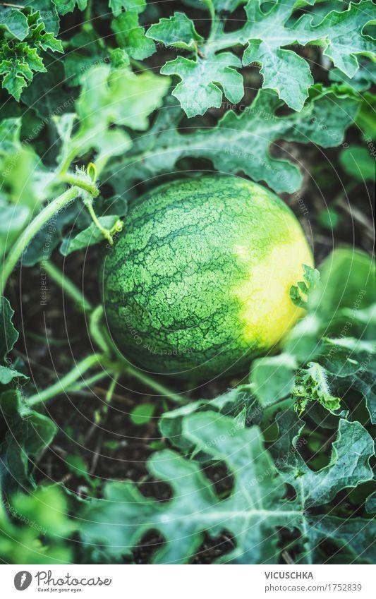 Wassermelone auf Gartenbeet Lebensmittel Frucht Lifestyle Design Gesunde Ernährung Sommer Natur Beet Bioprodukte Pflanze Ernte Farbfoto Außenaufnahme