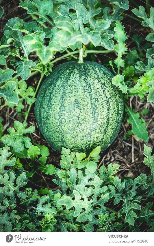 Wassermelone im Graden Natur Pflanze Sommer Gesunde Ernährung Leben Lifestyle Garten Lebensmittel Design Frucht Erde Bioprodukte Ernte anbauen