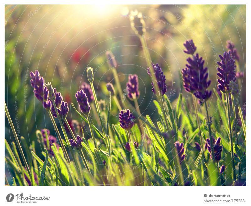 L A V E N D E L Farbfoto Außenaufnahme Makroaufnahme Textfreiraum oben Abend Licht Gegenlicht Zentralperspektive Natur Pflanze Sonnenlicht Sommer Blume Lavendel