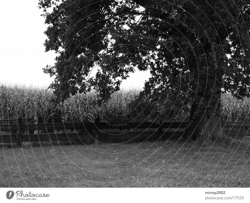 Baum neben Feld Sonne Sommer Ast Maisfeld