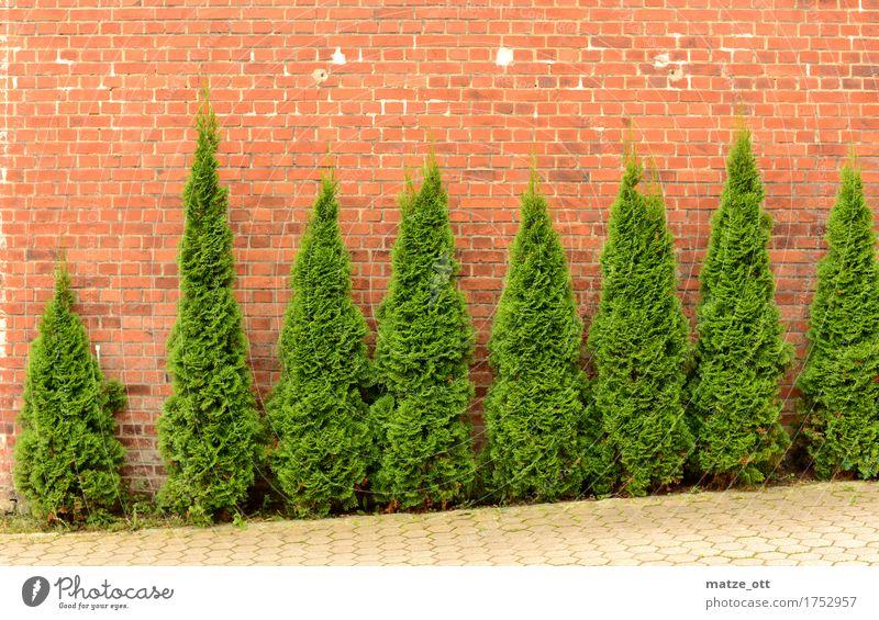 Exekution der Koniferen Pflanze Grünpflanze Sträucher Baum Garten Stadt Platz Mauer Wand Hinterhof Backsteinwand Backsteinfassade grün Blatt Ast ästhetisch