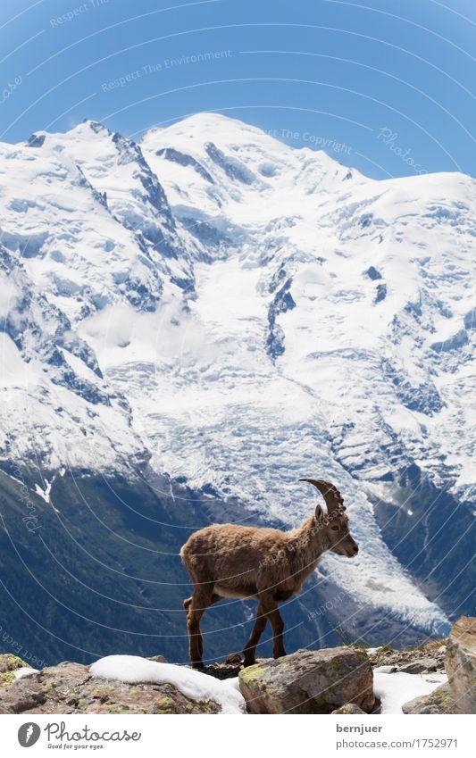 Steinbock in den französischen Alpen Sommer Schnee Berge u. Gebirge Natur Landschaft Tier Frühling Wiese Felsen Gletscher kalt blau Weiden alpin Chamonix Europa