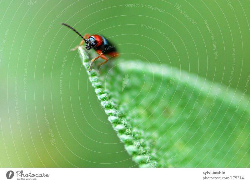 hoch hinaus Natur grün Pflanze rot schwarz Tier klein beobachten Wildtier Käfer Fühler krabbeln