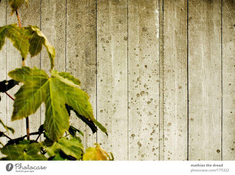 STRUKTUR vs. NATUR alt grün Pflanze Blatt kalt Wand Architektur grau Mauer trist Kontakt Ruine Fuge Furche eckig Ahorn
