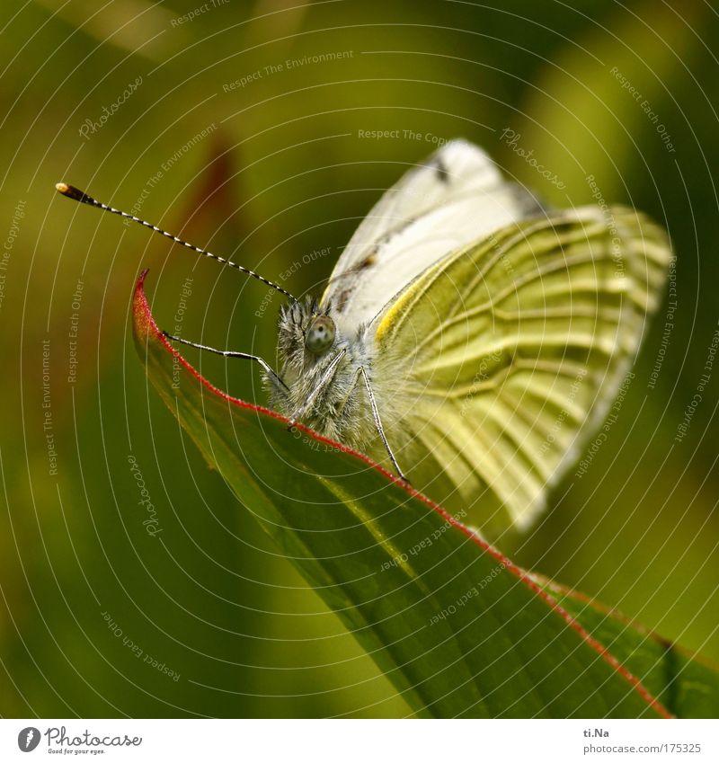 Falter Walter Natur weiß grün Pflanze ruhig Blatt Tier gelb Wiese Landschaft warten Umwelt ästhetisch Flügel Idylle Schmetterling