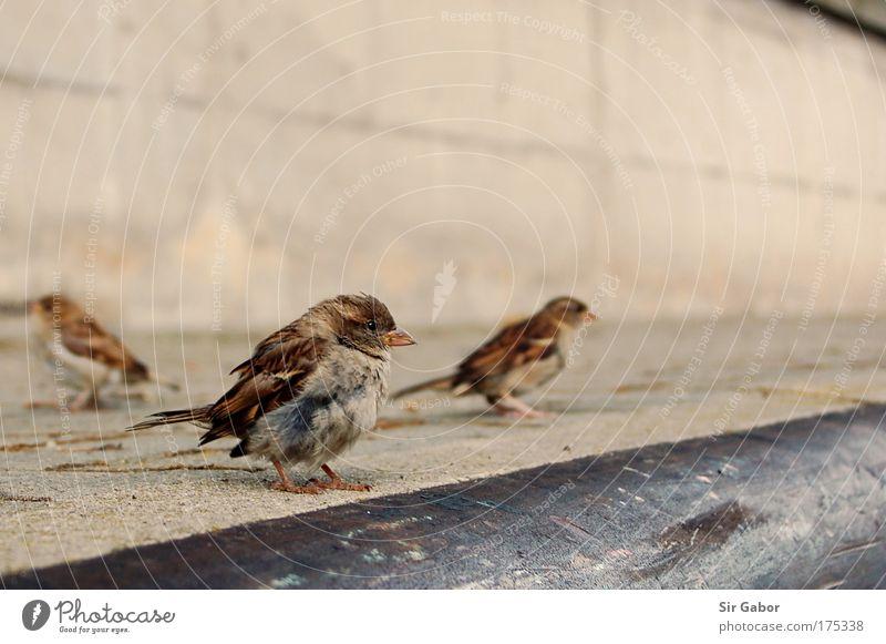 Spatzen auf der Kaymauer Tier Stein Zusammensein Vogel Tiergruppe mehrere