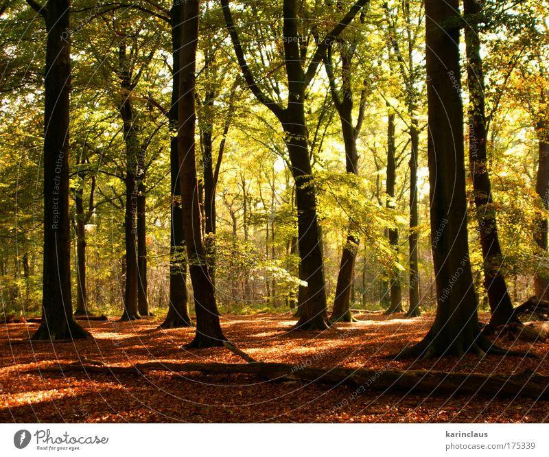 geheimnisvoller Herbst Umwelt Natur Landschaft Pflanze Sonnenlicht Klima Wetter Baum Sträucher Blatt Wald europäischer Laubwald mit Buche bedeckt Holz hell