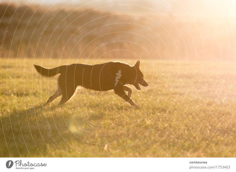 Kleiner Jäger Hund Natur Landschaft Tier Umwelt Wärme Wiese Bewegung Sport Glück Feld Lebensfreude Abenteuer Fell rennen Mut