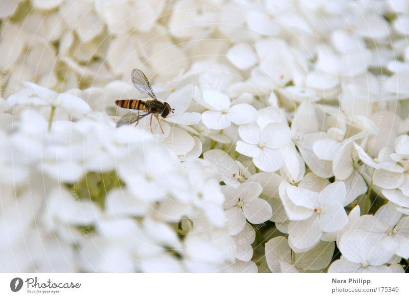 Schwebefliege im Paradies Farbfoto Gedeckte Farben Außenaufnahme Textfreiraum rechts Tag Unschärfe Tierporträt Natur Pflanze Frühling Sommer Blume Blüte Fliege